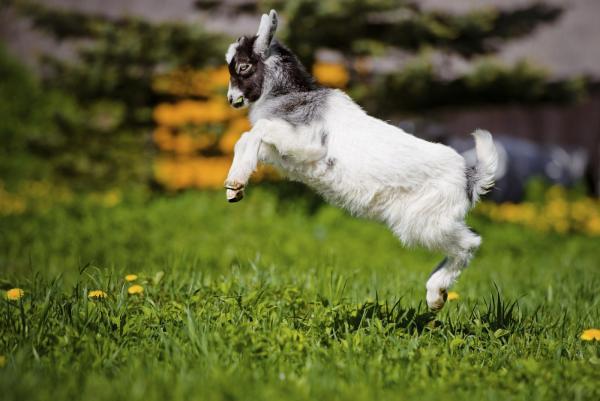 Raising Backyard Goats