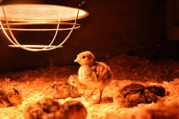 Building the Perfect Brooder