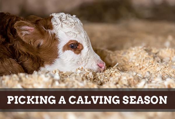 Picking A Calving Season