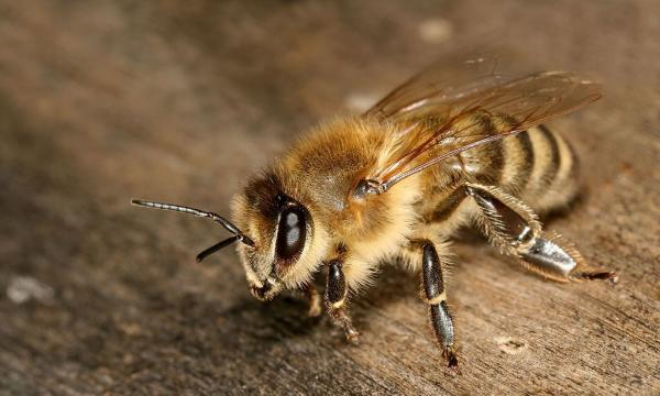 The Difference Between Italian and Carniolan Honey Bees