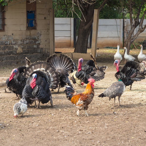 What the Flock? Chickens, Ducks, Turkey, and More: How to Raise a Mixed Flock