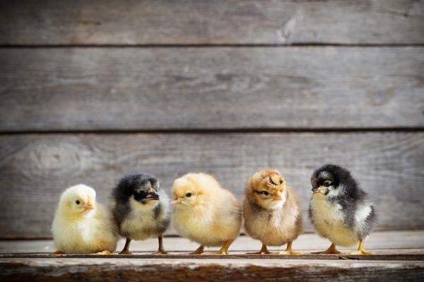 C-A-L Ranch Chicks