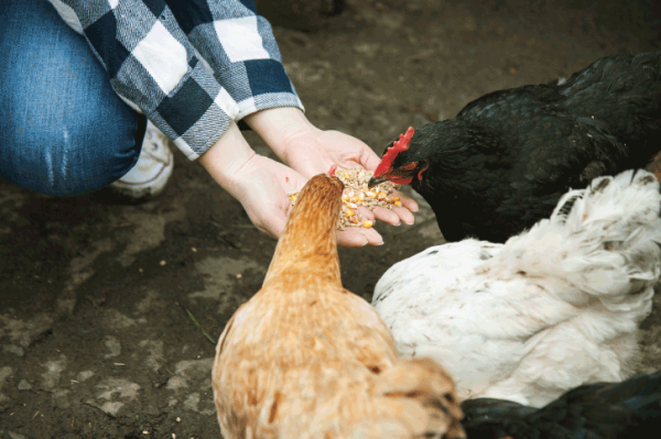 Chicken Feed - Everything You Need To Know
