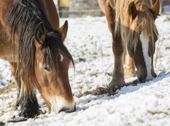 Feeding and Watering Horses in Winter